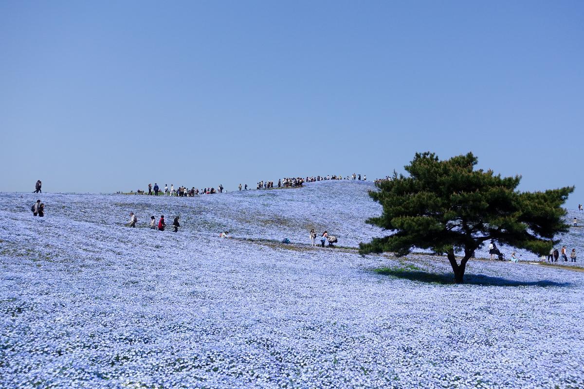 ญี่ปุ่น โตเกียว นาริตะ อิบารากิ ฟูจิ [เลทส์โก ฮานะโชกุน] 5 D 3 N (BY SL)